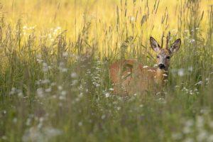 Et hjort går rundt i en græsmark med højt græs